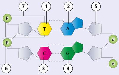 Biologie DVD 17 - Molekulare Genetik - Weitergabe des ErbgutsDie ...