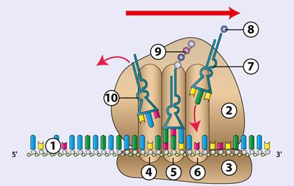 Biologie DVD 18 - Molekulare Genetik - ProteinbiosyntheseDie Translation