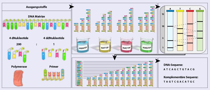 BIO-DVD040 - Gentechnik II - Identifizierungsmethoden DNA ...